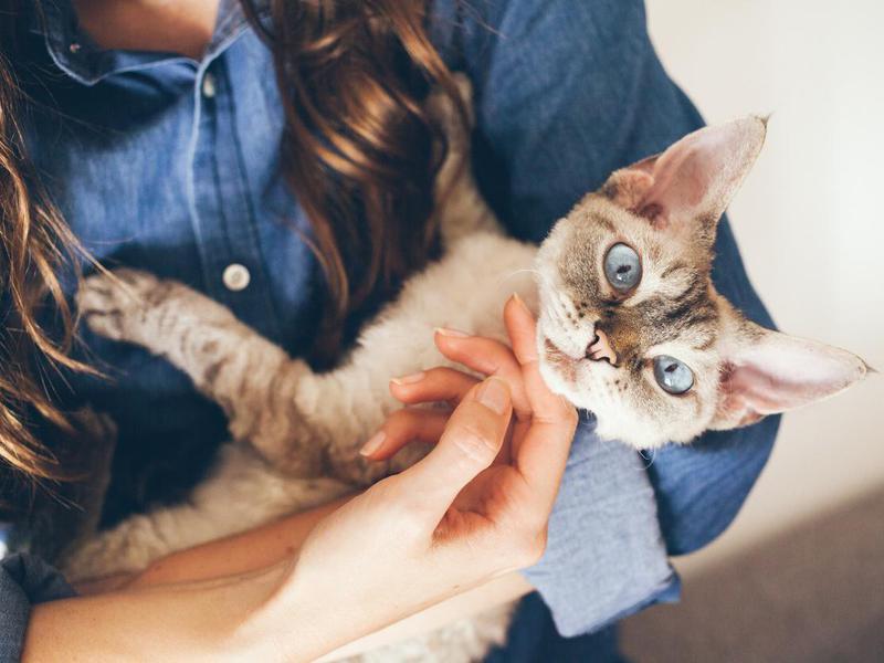 Devon rex therapy cat