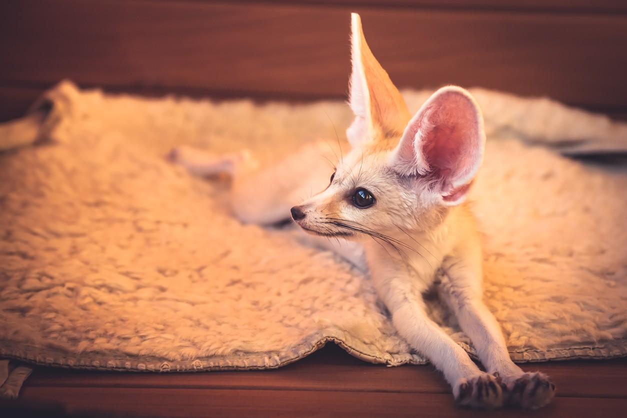 Small fennec fox
