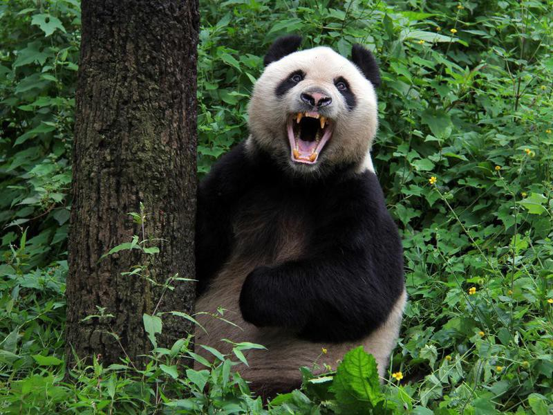 Are panda bears dangerous