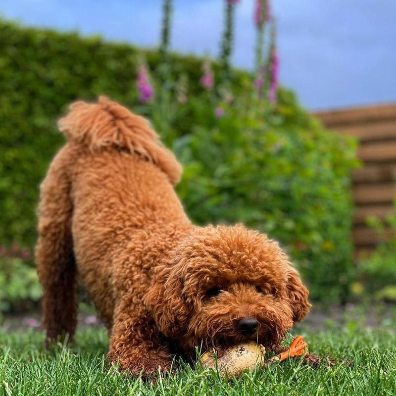Toy poodle mix playing with a toy