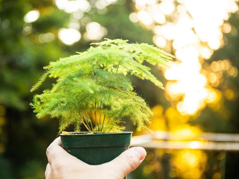 A little asparagus fern plant in a pot