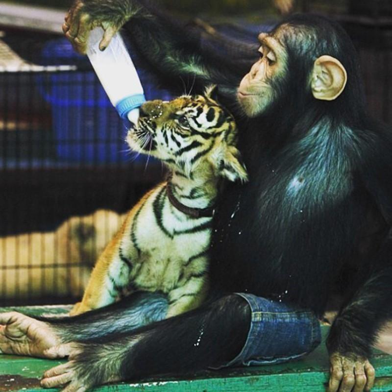 Chimpanzee and tiger