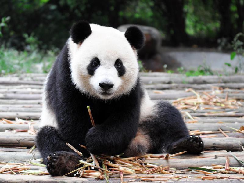 How much do panda bears weigh
