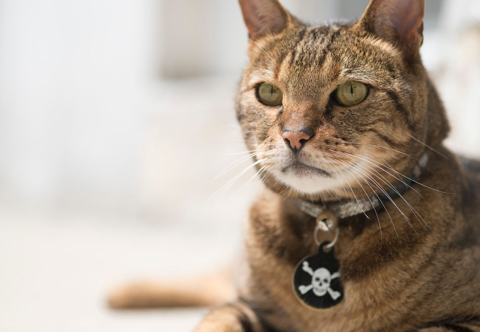 Cat with skull and crossbones