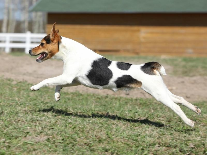 Parsons Russell Terrier