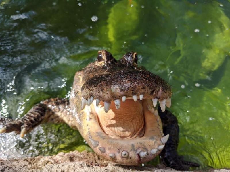 Alligator in a zoo