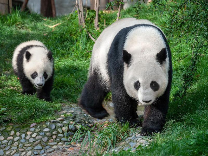 Are panda bears endangered?