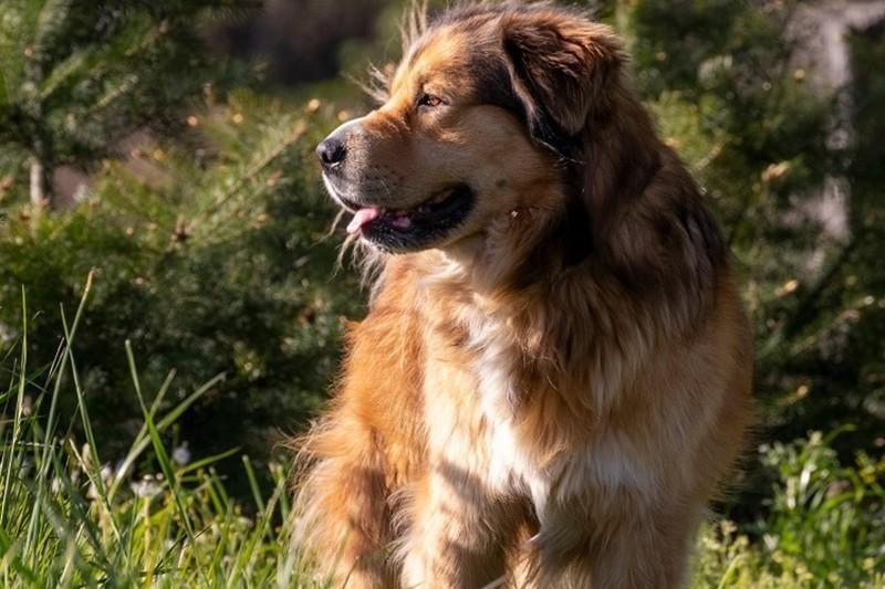 Golden Shepherd