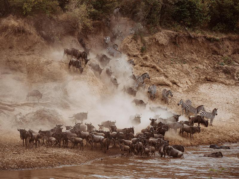 Wildebeests Wading Into the Water