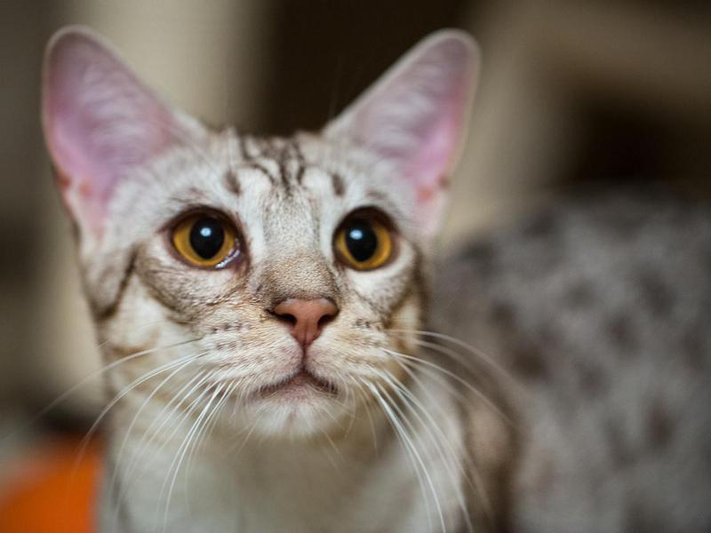 Ocicat cat breed closeup