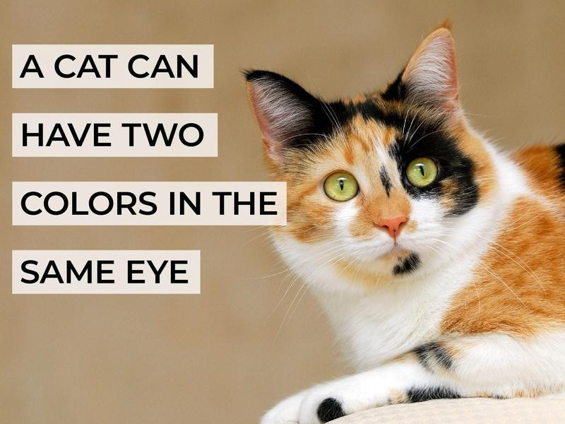 A Cat Can Have Two Colors in the Same Eye