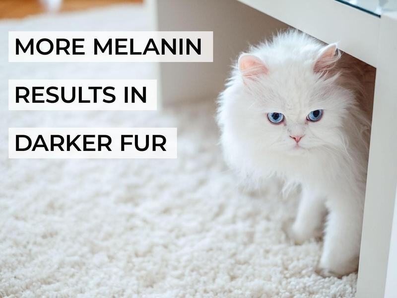 More Melanin Results in Darker Fur