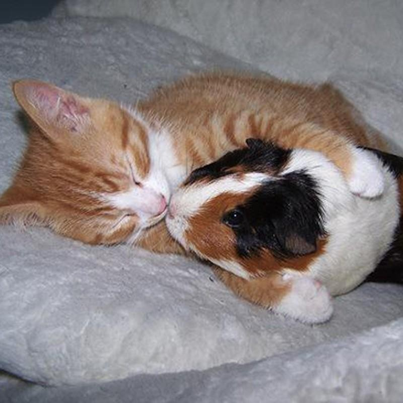 Sleeping cat and guinea pig