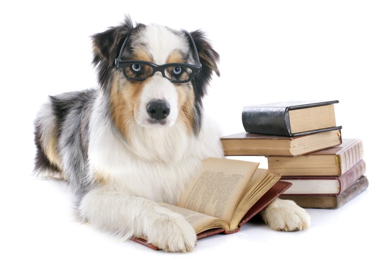 Australian shepherd with glasses and books