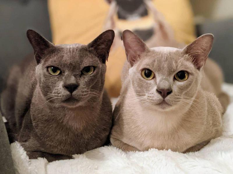 Two Burmese cats