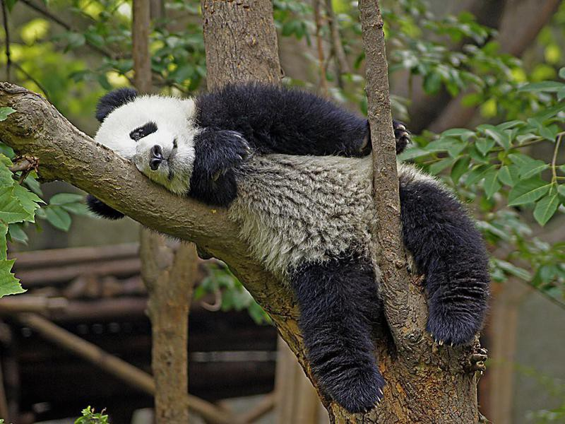 Do panda bears play