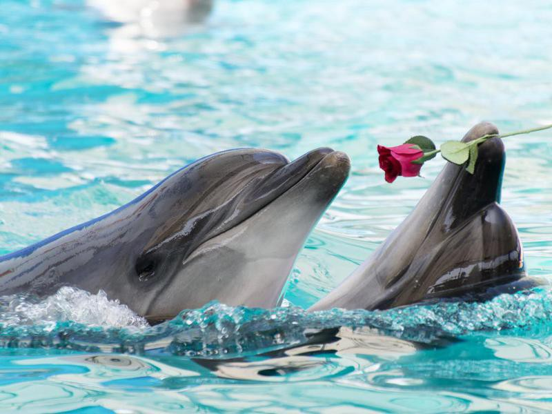 Dolphin Couple Dancing