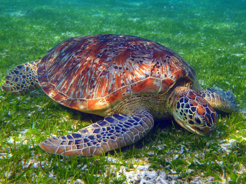 Turtle feeding on grass in shallow water