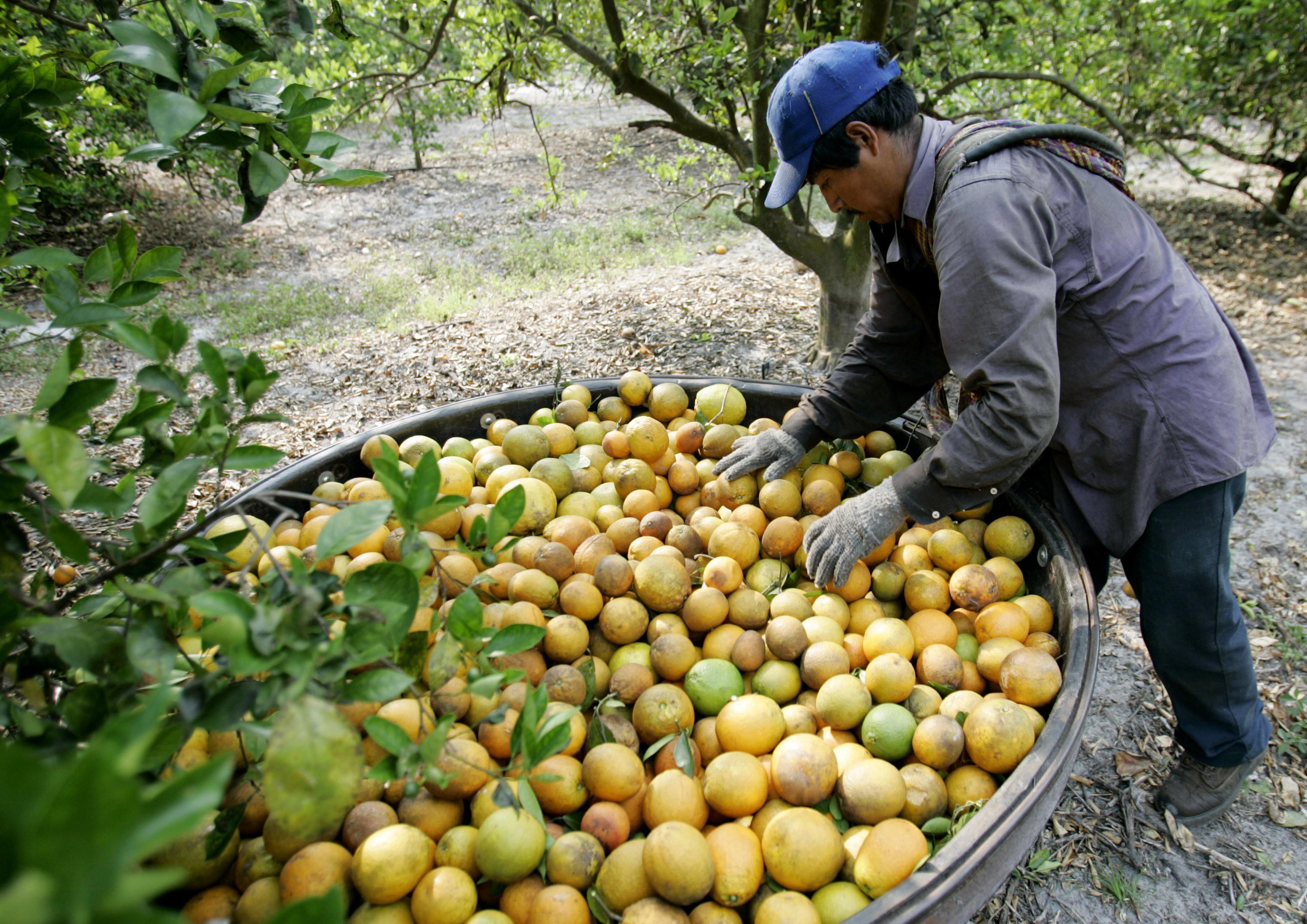 Citrus farm in Florida