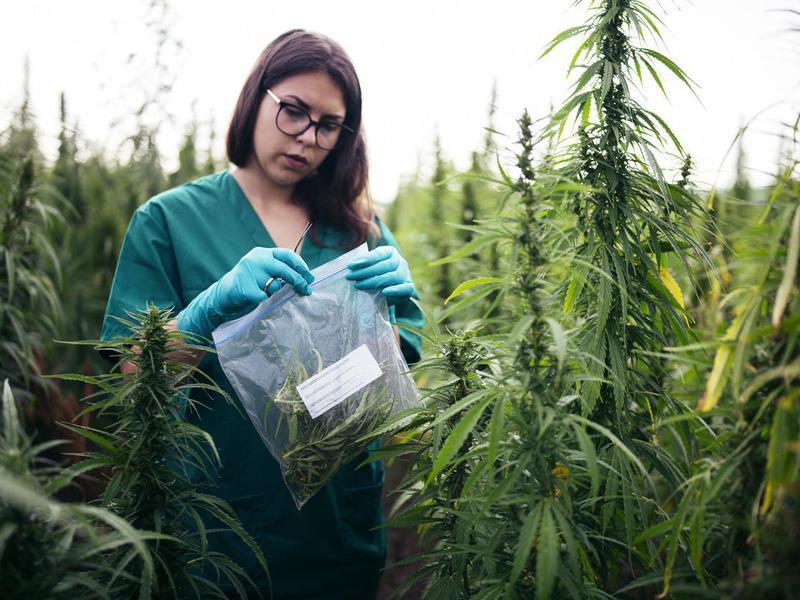 Looking at medical marijuana plants