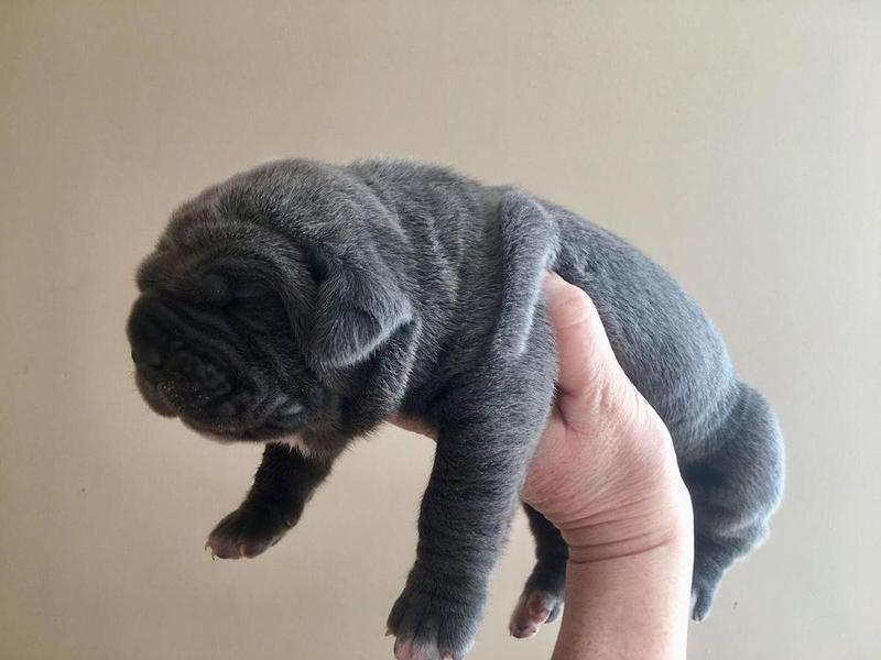 Newborn Neapolitan Mastiff