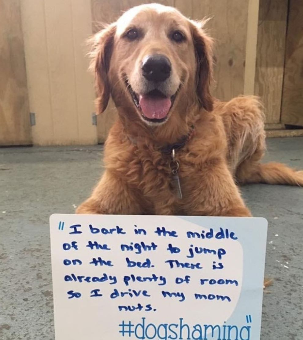 Golden retriever being shamed