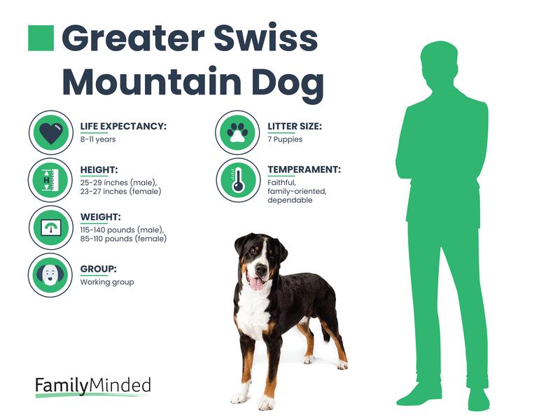 Greater Swiss Breed