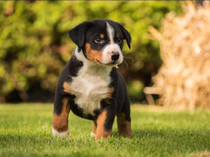 appenzeller pup