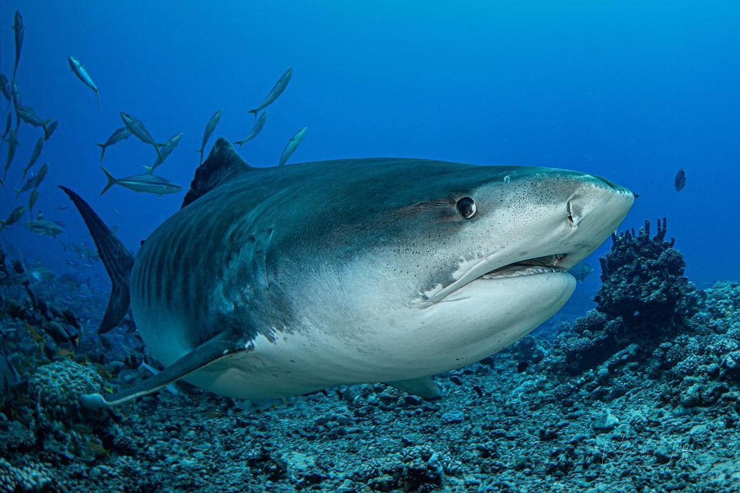 Shark looking to the side
