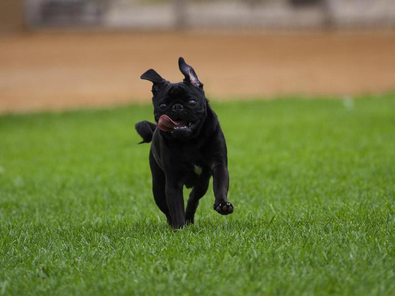 Pug on the run
