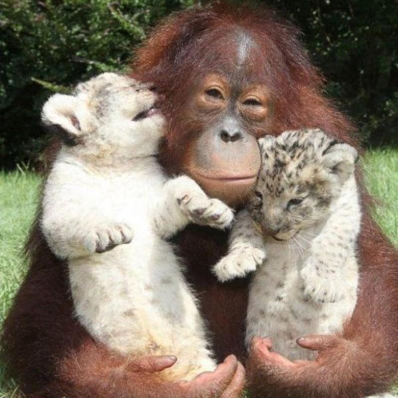 Orangutan and baby leopards