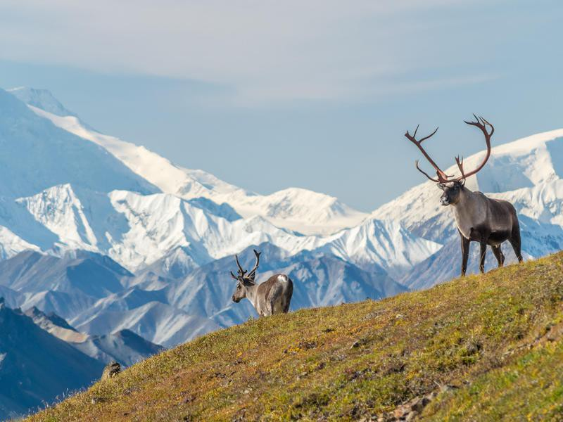 Caribou in front of Denali