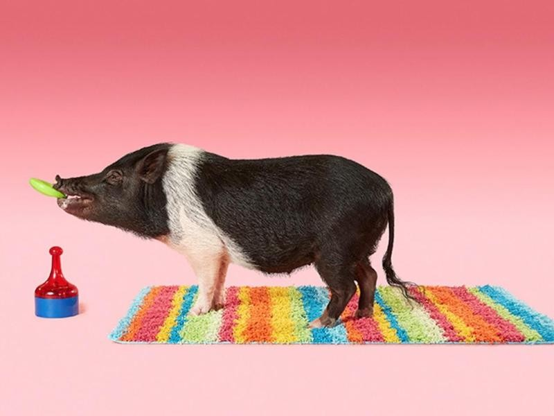 The Most Tricks Performed by a Pig in 1 Minute