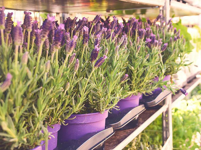 Lavandula stoechas or Spanish lavender in pots