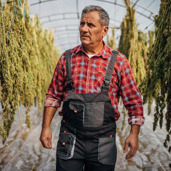 Farmer examining the process of cannabis plants drying and hanging in the green house