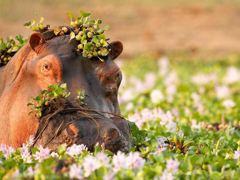 Hippopotamus in the Zambezi