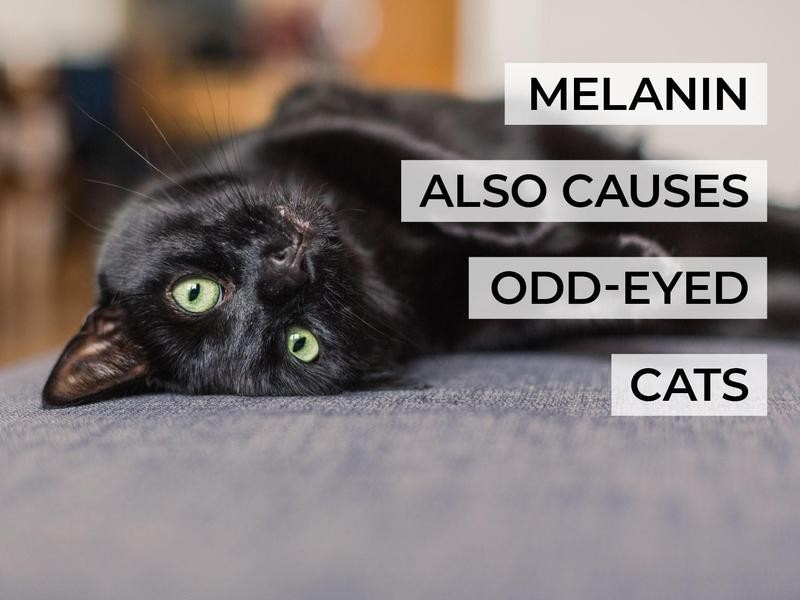 Melanin Also Causes Odd-Eyed Cats
