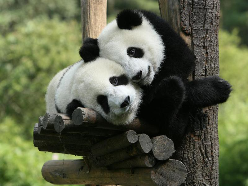 Are all panda bears owned by China?