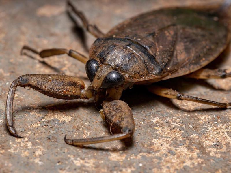 Adult Giant Water Bug