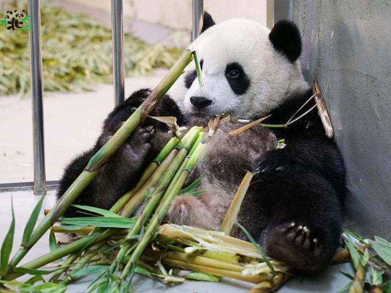 Panda bear at Taipei Zoo