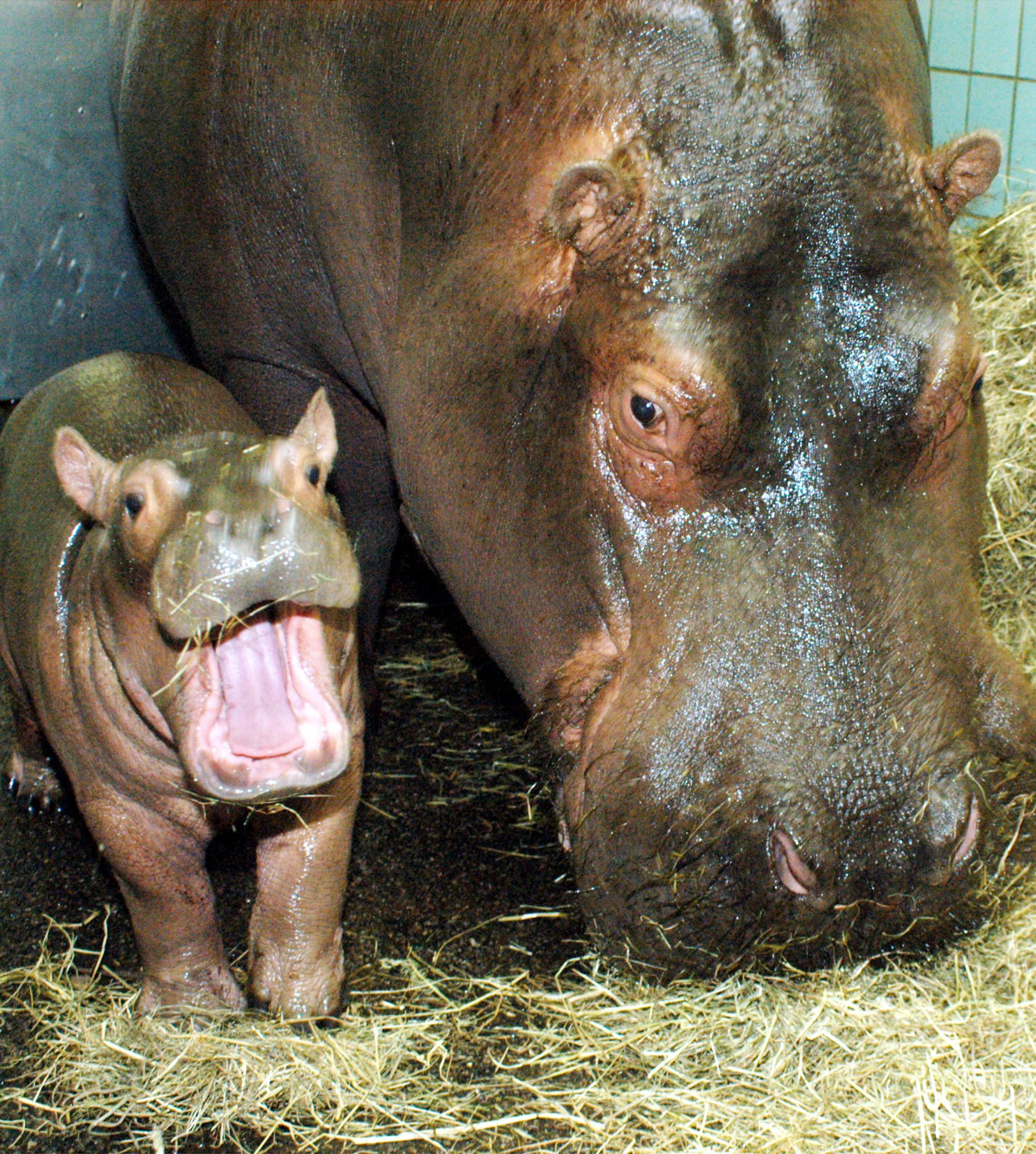 Hippotamus mother and offspring