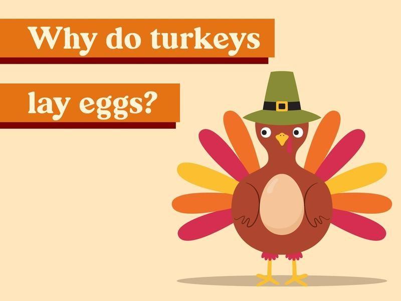 Why do turkeys lay eggs?