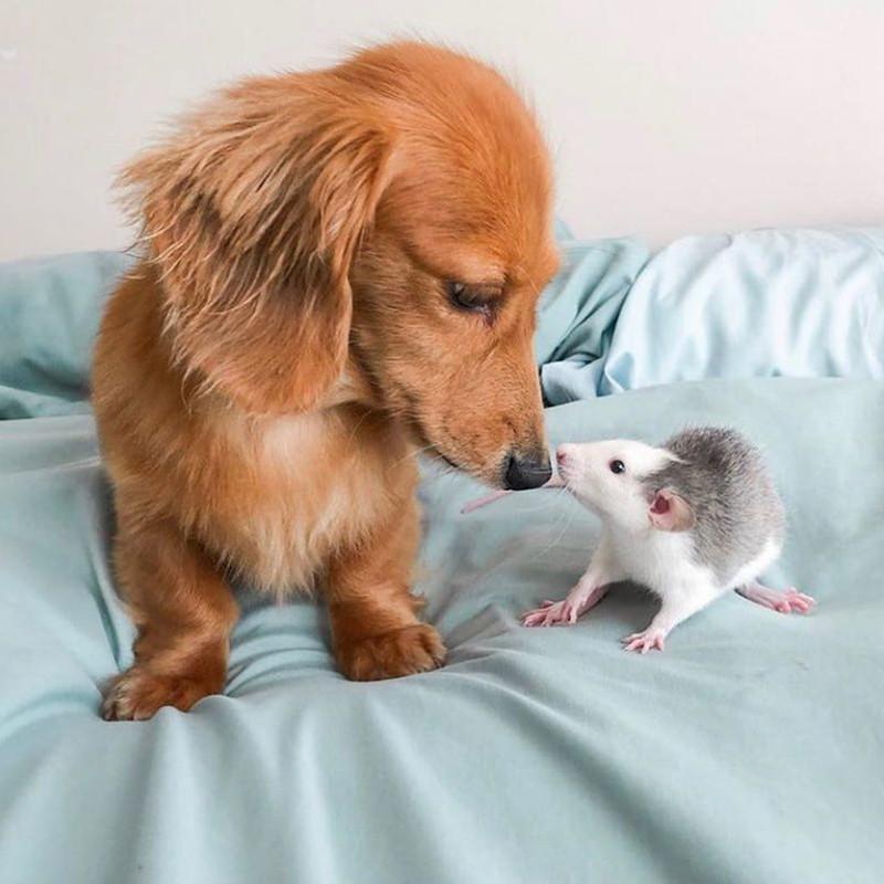 Dachshund and rat