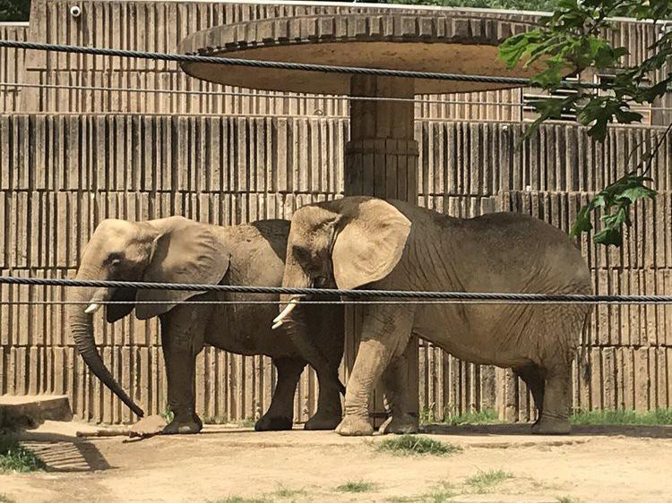 Pair of elephants at Memphis Zoo