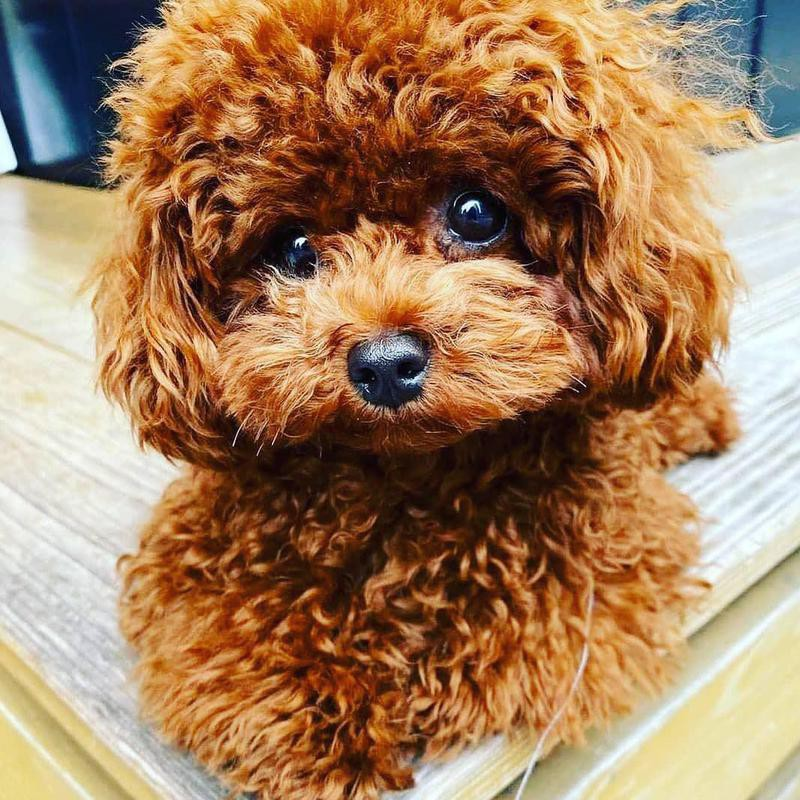 Toy poodle with a puppy cut