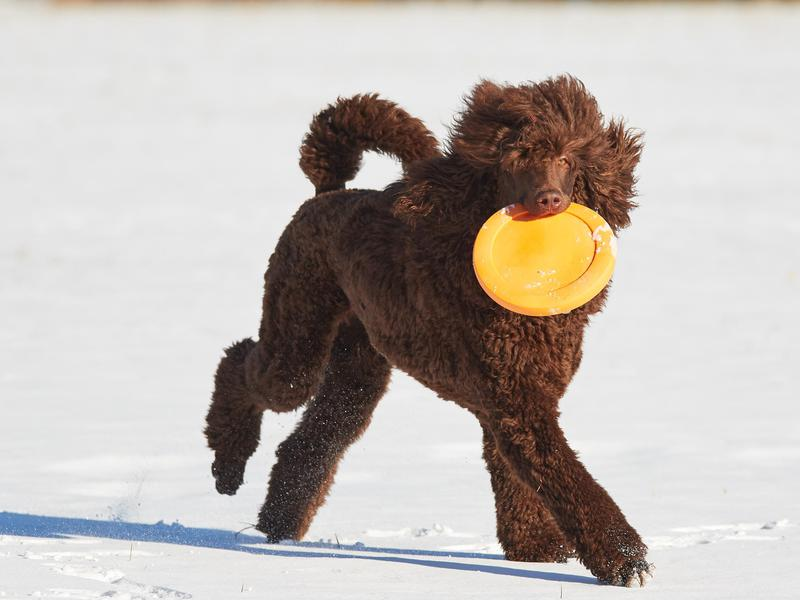 Poodle with a frisbee