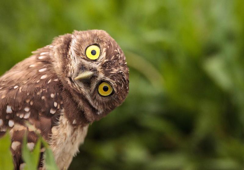 Burrowing owl tilting its head