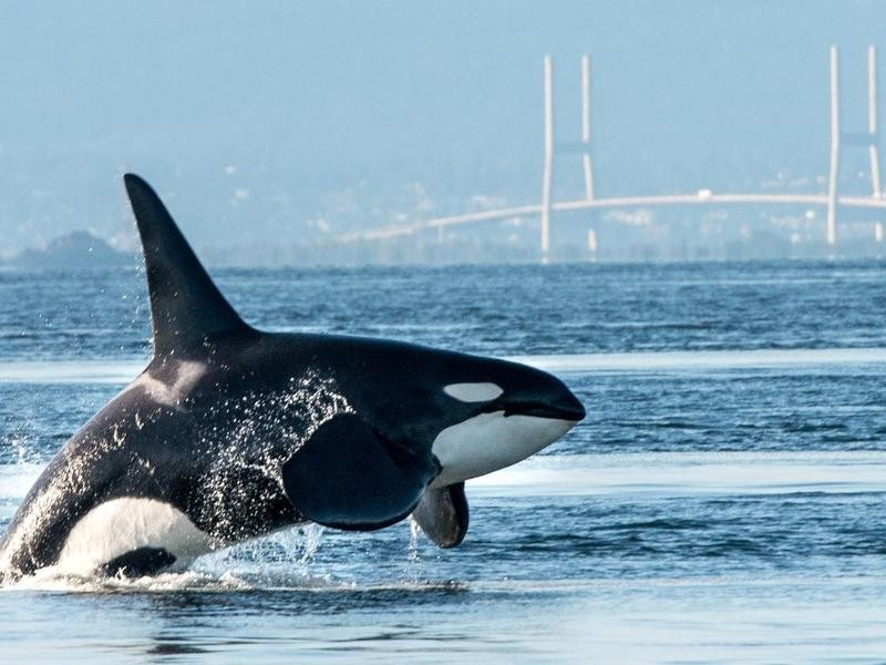 Orca in Vancouver Harbor