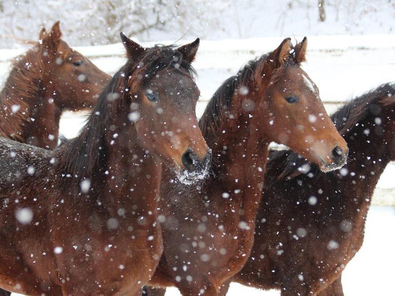 Morgan Horses in snow