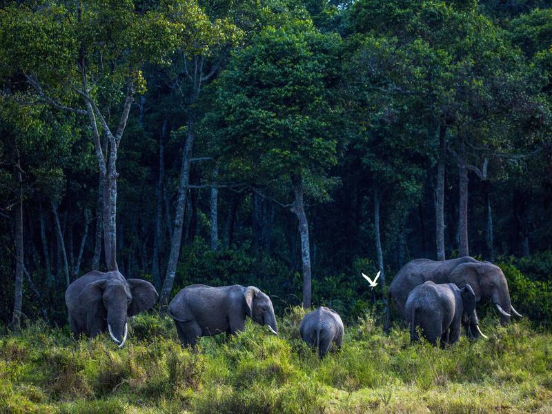Elephants Grazing on Grass
